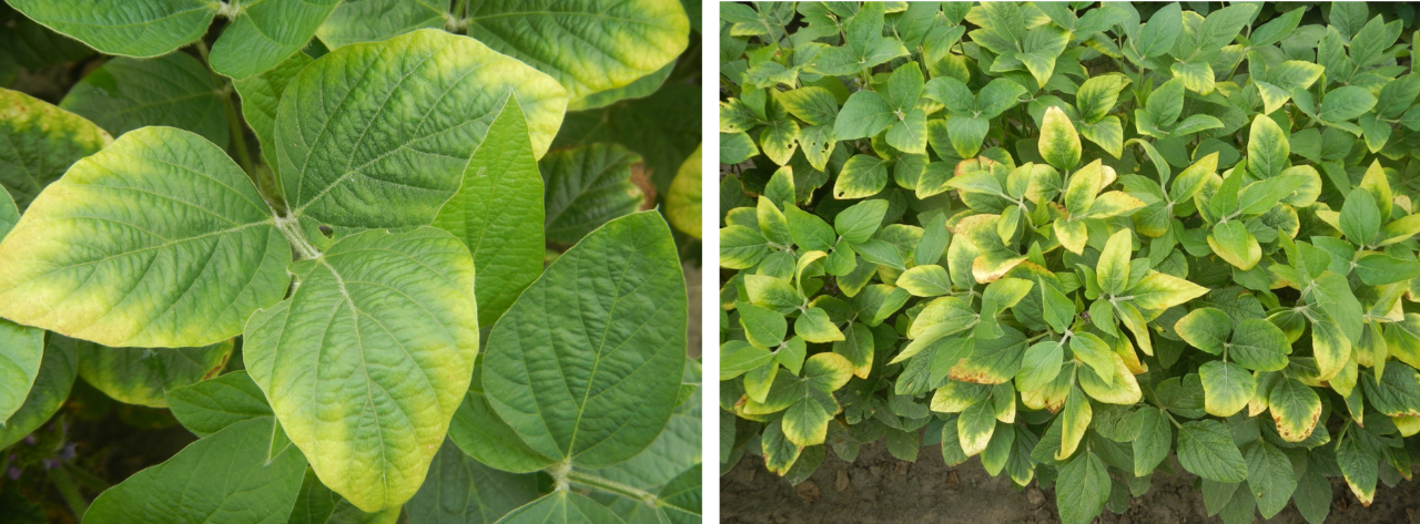 Potassium deficiency. Photos courtesy of Dr. Bobby Golden, Mississippi State University